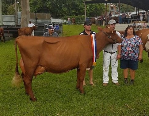 Far Sth Coast Champ Cow 2