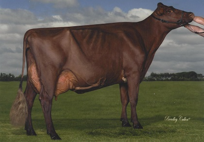 2015 All World Red Cow Photo Comp Aged Cow in Milk RESERVE CHAMPION